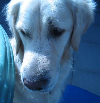 Golden Retriever Paul Froehlich/ armer Hund