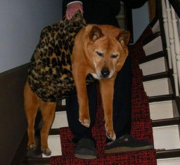 Dingo in seiner Hundetragetasche auf der Treppe