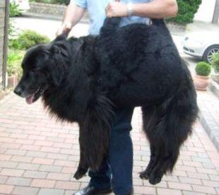 Hund Nora mit Tragehilfe in Taschenform
