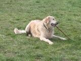 Golden Retriever Paul Froehlich/ kleines Video
